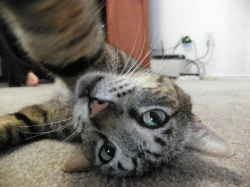 Кошачьи самострелы (22 фото)