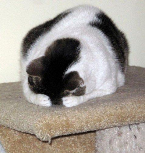 Коты совсем не умеют играть в прятки (13 фото)