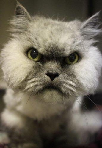 У знаменитого Grumpy Cat появился конкурент — Angry Cat (3 фото)