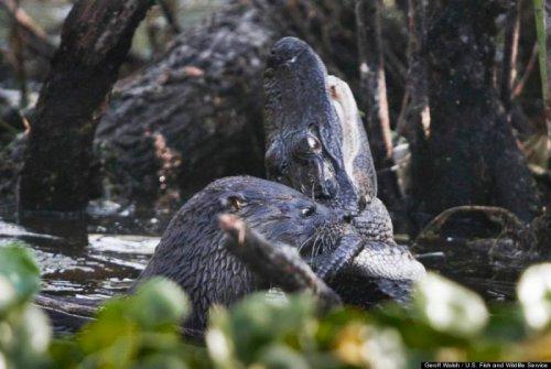 Нападение выдры на аллигатора (10 фото)
