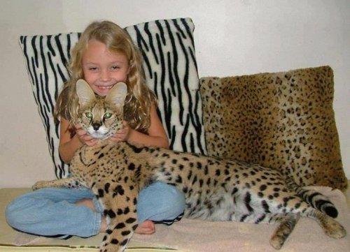 Мало кошки:саванна и каракал (6 фото)