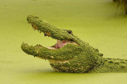 Замаскировавшийся аллигатор (5 фото)
