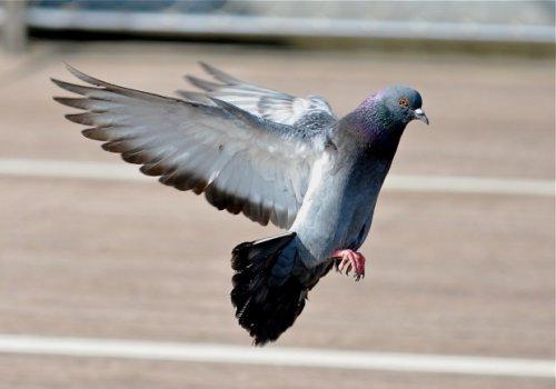 Почему мы никогда не видим голубят? (5 фото)