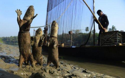Выдры помогают рыбакам ловить рыбу (8 фото)