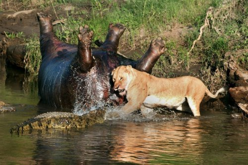 Потрясающие кадры противостояния львицы и крокодилов (7 фото)