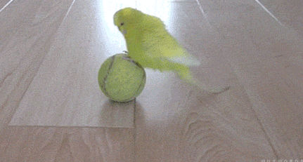 Попугай и теннисный мячик