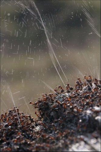 Оборона муравейника (3 фото)