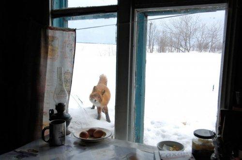 Красивые и хитрые лисицы (21 фото)