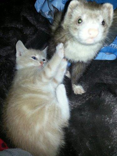 Дружба рыжего котёнка и хорьков (29 фото)