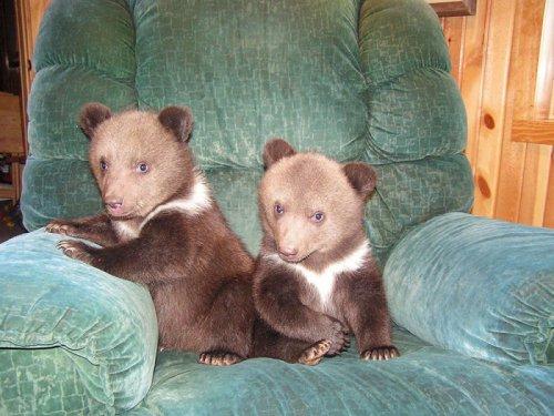 Усыновление двух медвежат (9 фото)