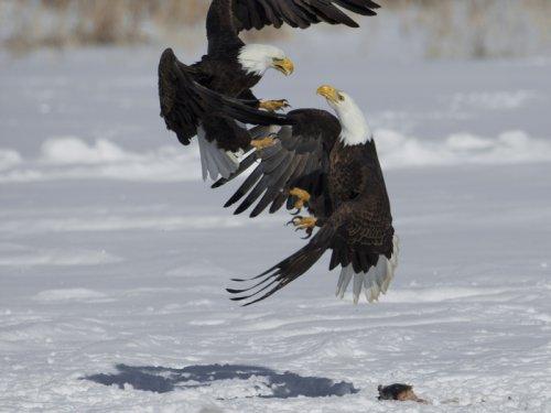 Поединки белоголовых орланов (6 фото)