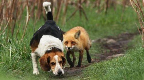 Названа наихудшая охотничья собака в мире (3 фото)
