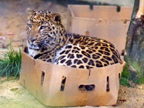 Большие котики тоже любят коробки (19 фото)