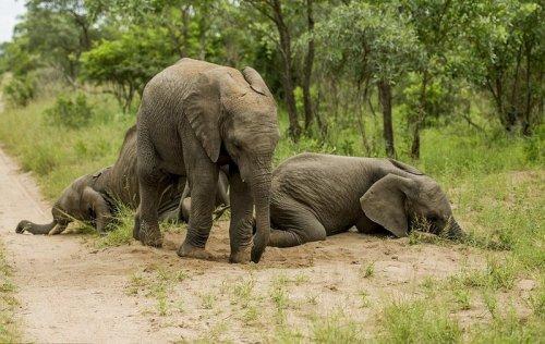 Пьяный слон (8 фото)