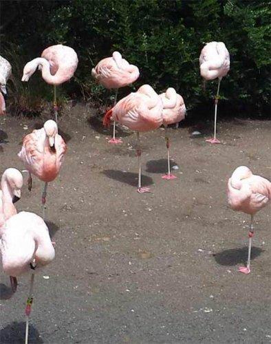 Утка больше месяца живет в колонии фламинго (3 фото)