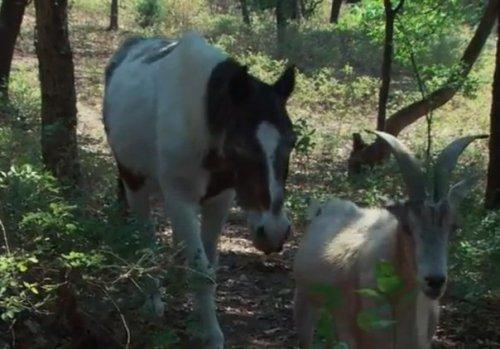 Козёл 16 лет заботился о слепой лошади