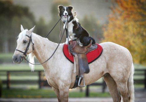 Собака,которая умеет ездить на лошаде верхом (6 фото)