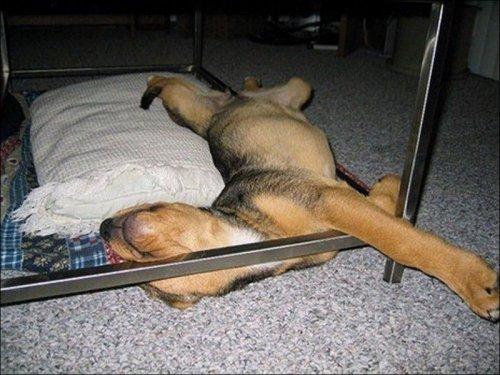 Забавные спящие собаки (31 фото)