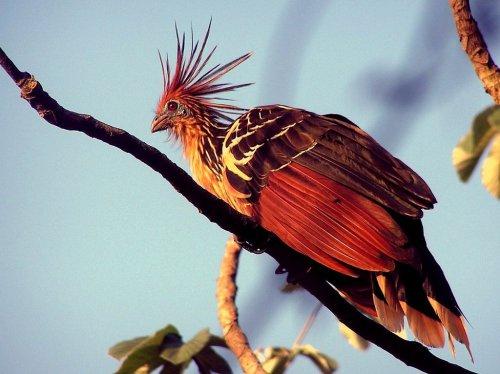 Самая зобастая птица (4 фото)