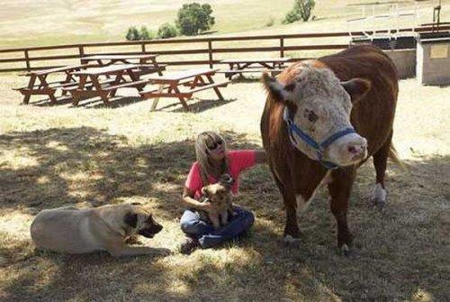 На калифорнийской ферме живет корова, убежденная в том, что она - собака (5 фото+видео)