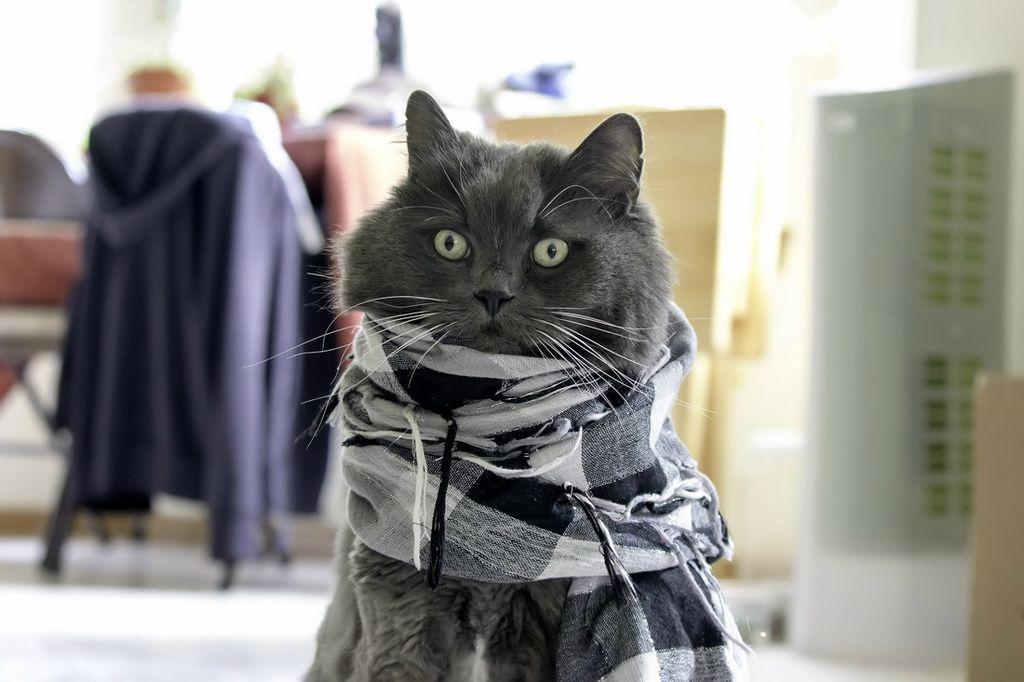 фото кошка в пальто пожелать