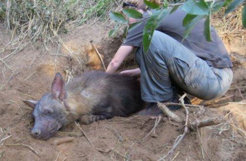 Гиена родила двух щенят, попав в капкан (8 фото)