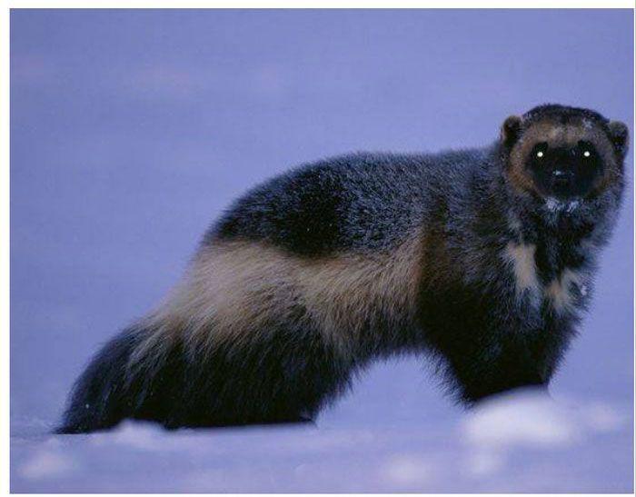 Топ-7 самых зловонных животных в мире (13 фото)