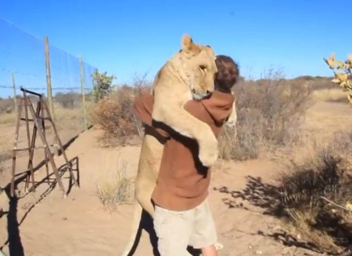 Большая любовь большой кошки