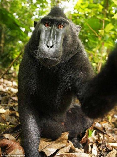 Сэлфи обезьяны (6 фото)