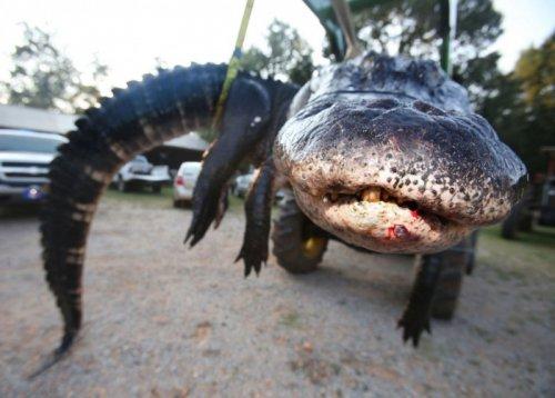 В США поймали огромного аллигатора (12 фото)