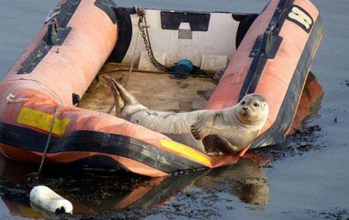 Очень позитивный тюлень
