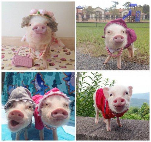 Модные свинки (11 фото)