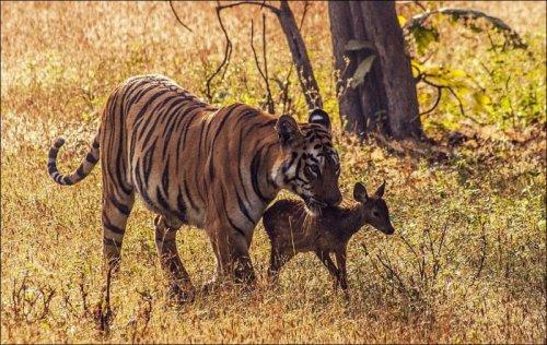 Добрый тигр (7 фото)