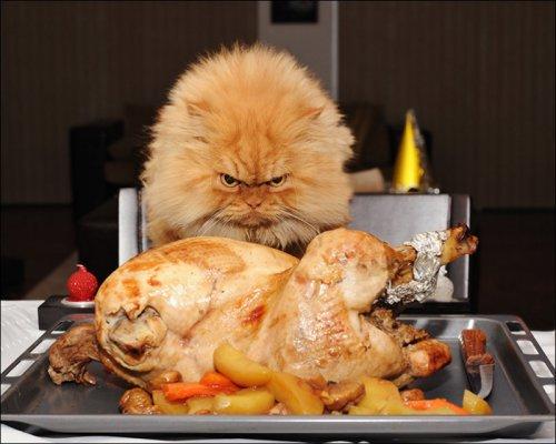 Самый сердитый кот в мире (16 фото)