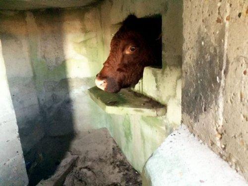 Спасение коровы (4 фото)