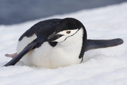 Почему пингвины не примерзают к льдине?