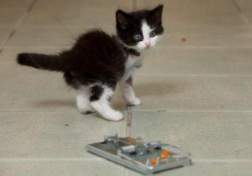 Котёнок, потерявший лапку в мышеловке, нашел новый дом... и все еще любит сыр (4 фото)