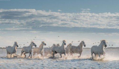 Лошади заповедника Камарг (18 фото)