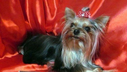Самая маленькая собака России живёт в Челябинске