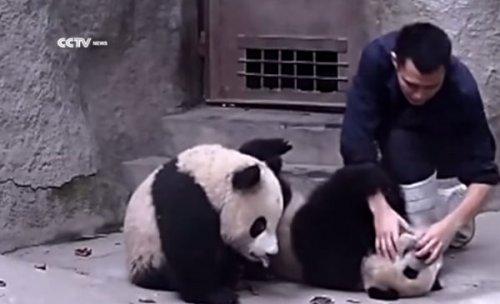 Панды изо всех сил сопротивляются приему лекарства