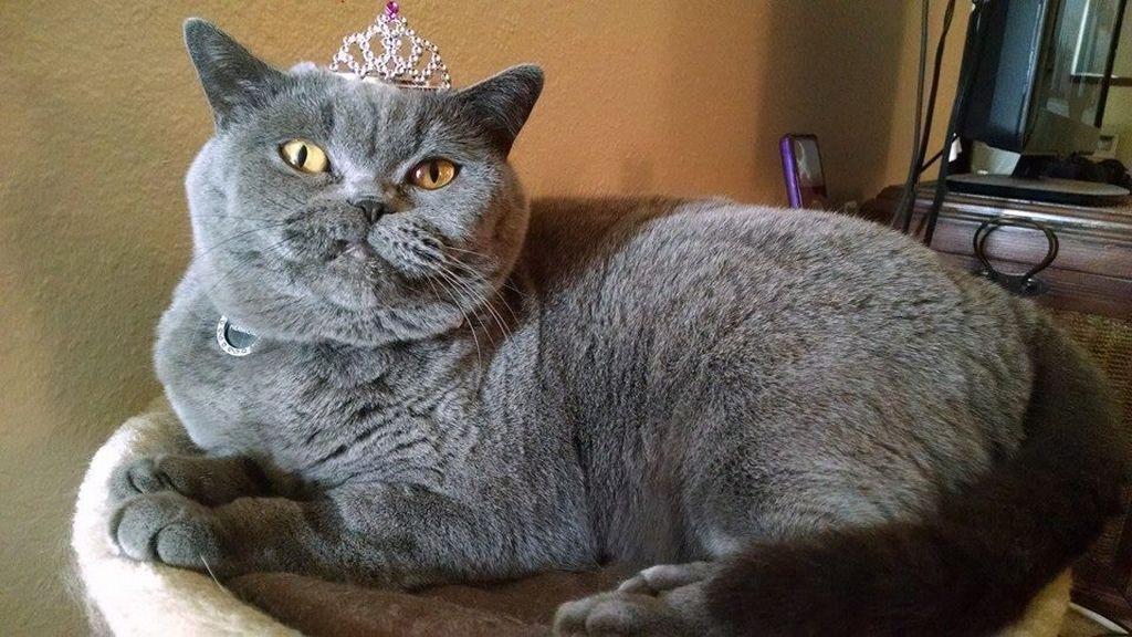 смешные коты британцы картинки мои