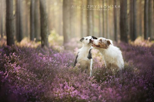 Очаровательные собаки в фотографиях Алисии Змысловской (20 фото)