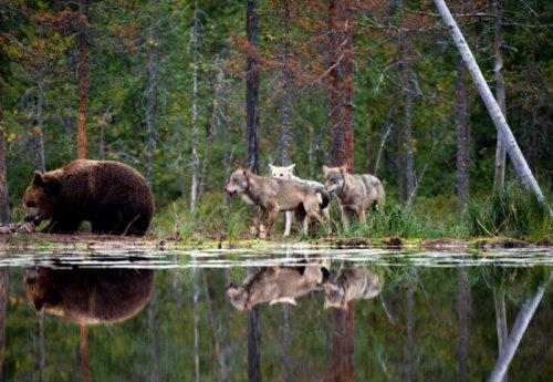 Стая волков напала на медведя (6 фото)