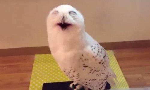 Юмор:15 секунд смеха совы — и хорошее настроение начинает зашкаливать