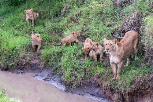 Мама учит непутевых львят перепрыгивать через ручей (12 фото)