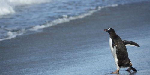 Папуанские пингвины – покорители волн (9 фото)