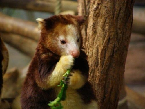 Эндемики Новой Гвинеи древесные кенгуру Гудфеллоу (9 фото)