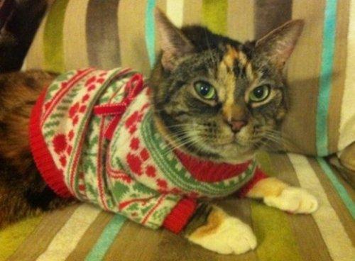 Кошки в новогодних свитерах (10 фото)