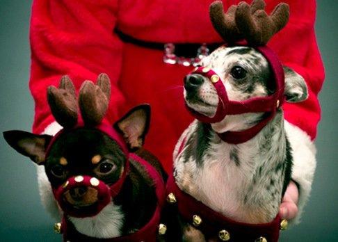 Очаровательные собаки в костюмах оленей (10 фото)