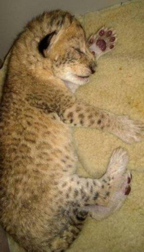 В Иркутске родилась пара львят (6 фото)
